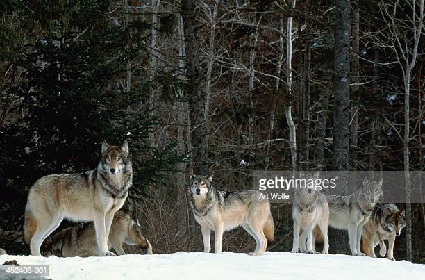 Grey wolves (Canis lupus) in snow-covered landscape, Canada