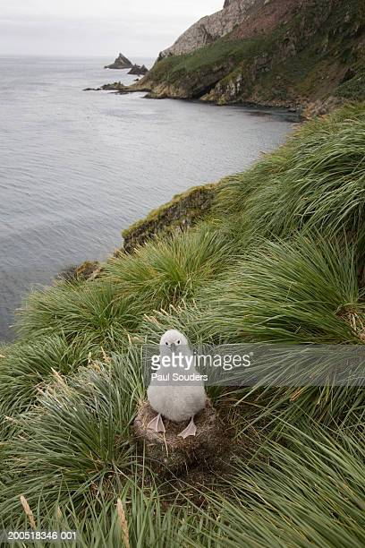 Grey-headed albatross (Diomedea chrysostoma) chick in nest