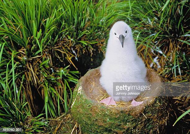 grey-headed albatross chick (diomedea chrysostoma) in nest - albatros stock-fotos und bilder