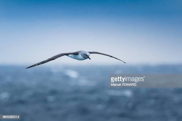 grey-headed albatross, drake passage, antarctica - albatross stock pictures, royalty-free photos & images