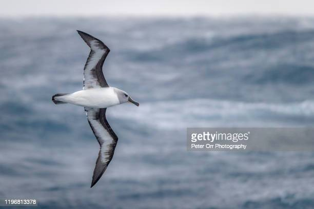 a grey-headed albatross flying in antarctic waters - albatross stock pictures, royalty-free photos & images