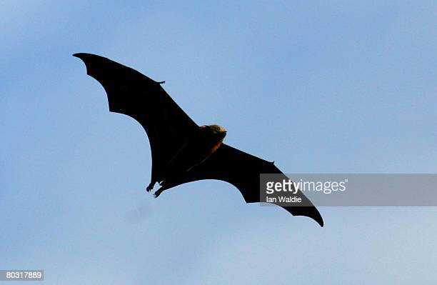 Grey-Headed Flying Fox flies through the air at the Royal Botanic Gardens March 20, 2008 in Sydney, Australia. Flying Foxes, or fruit bats, have...