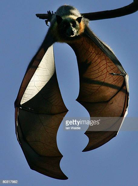 GreyHeaded Flying Fox hangs from it's roost at the Royal Botanic Gardens March 20 2008 in Sydney Australia Flying Foxes or fruit bats have taken up...