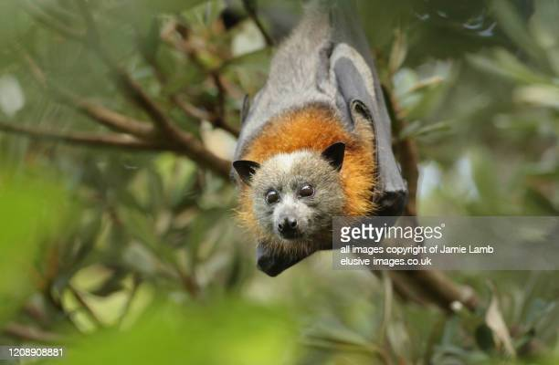 grey-headed flying fox portrait, australia - flying fox stock pictures, royalty-free photos & images