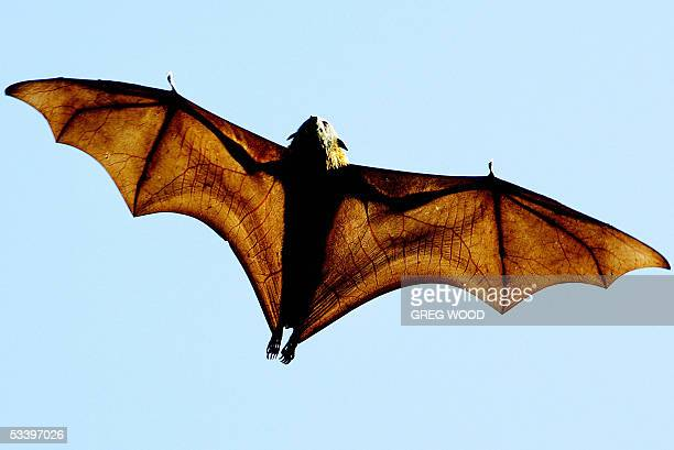 A greyheaded Flyingfox a native Australian bat stretches its leathery wings as it flies high over Sydney's Botanical Gardens 17 August 2005 The bats...