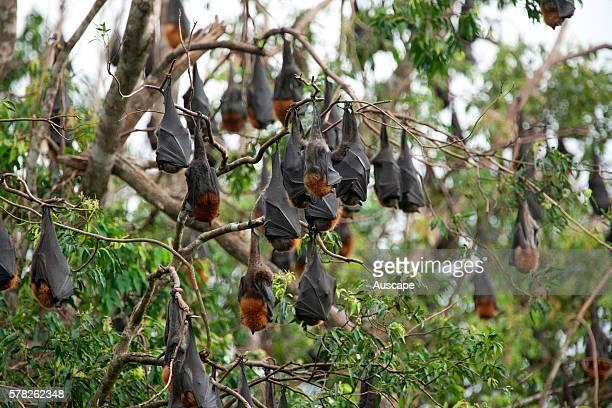 Greyheaded flyingfoxes Pteropus poliocephalus roosting bats in colony Uki near Murwillumbah New South Wales Australia