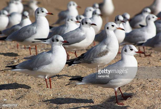 Grey-headed gulls - Girona (Costa Brava)