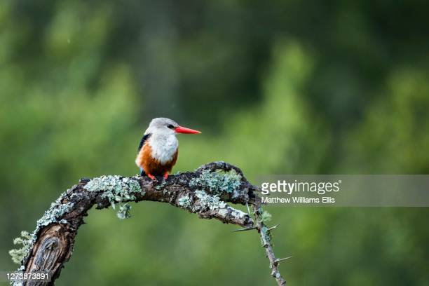 grey-headed kingfisher, halcyon leucocephala, at el karama ranch, laikipia county, kenya - gray headed kingfisher stock pictures, royalty-free photos & images