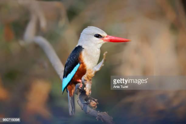 grey-headed kingfisher (halcyon leucocephala), masai mara, national park, kenya, east africa - gray headed kingfisher stock pictures, royalty-free photos & images