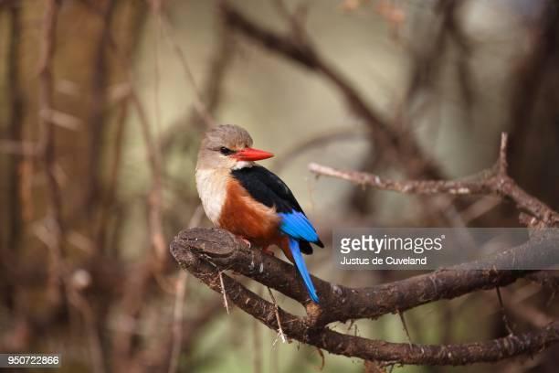 grey-headed kingfisher (halcyon leucocephala), on branch, lake manyara national park, tanzania - gray headed kingfisher stock pictures, royalty-free photos & images