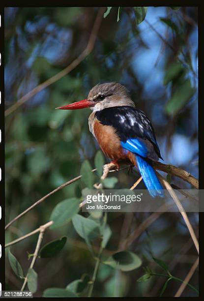 grey-headed kingfisher on branch - gray headed kingfisher stock pictures, royalty-free photos & images