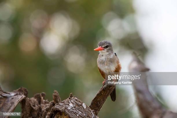 A greyheaded kingfisher perched on a branch in the Samburu National Reserve in Kenya