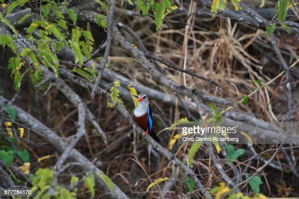 grey-headed kingfisher (halcyon leucocephala). - gray headed kingfisher stock pictures, royalty-free photos & images