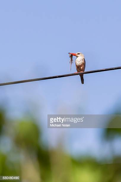 grey-headed kingfisher (halcyon leucocephala) with lizard at curral grande, fogo island, cape verde, africa - gray headed kingfisher stock pictures, royalty-free photos & images