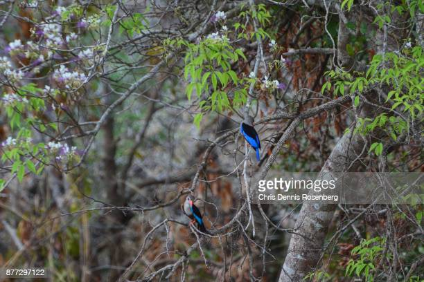 grey-headed kingfishers (halcyon leucocephala). - gray headed kingfisher stock pictures, royalty-free photos & images