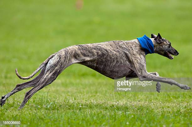 Greyhoud lure coursing