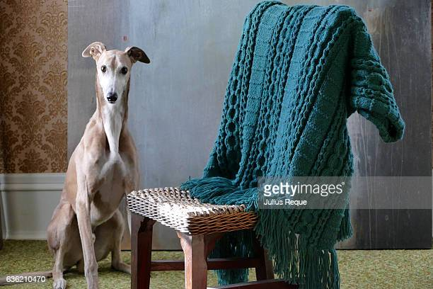 Greyhound and Afghan
