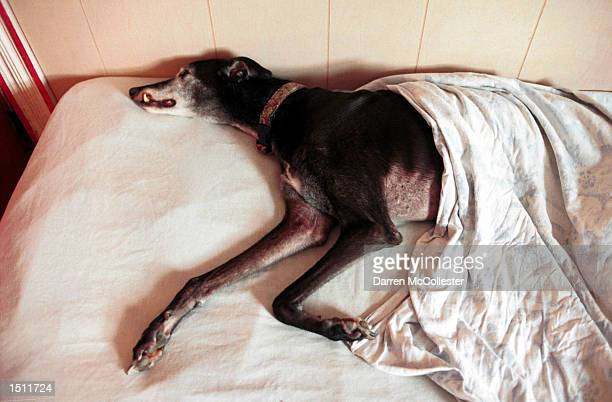 A greyhound catches a nap while spending the day at Pet Companions Inc August 17 2000 in Somerville MA Pet Companions Inc is the Boston areas first...