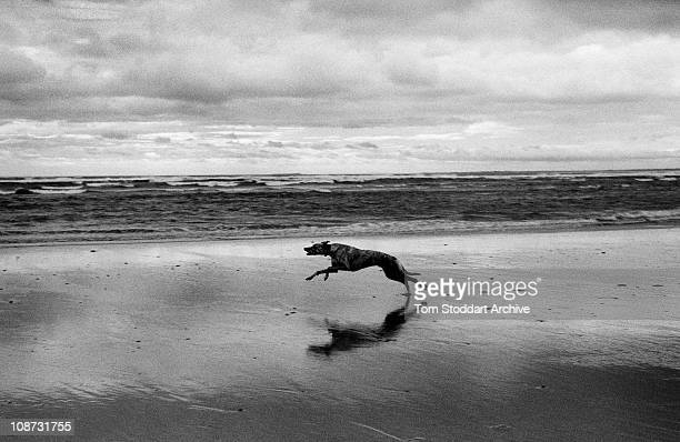 Greyhound dog races excitedly along Alnmouth Beach on the Northumberland coast