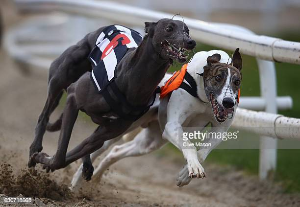 Greyhound dogs race during a race meeting at Towcester Racecourse on December 31 2016 in Northampton England