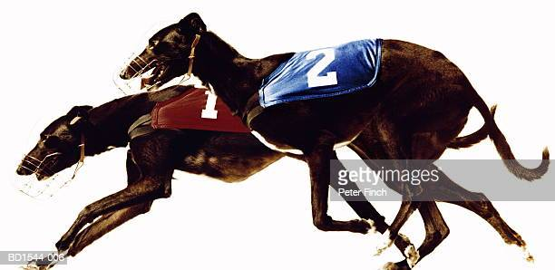greyhound dogs racing, side view (digital composite) - hound stock pictures, royalty-free photos & images