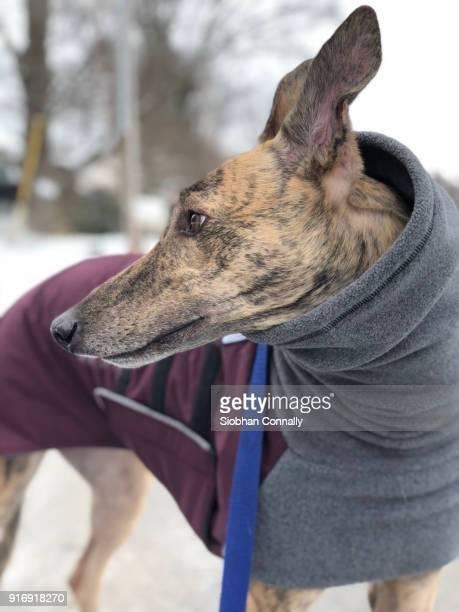 Greyhound in sweater