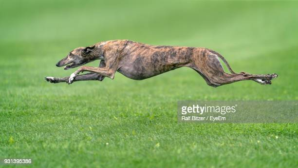 greyhound jumping over grassy field - levrette position photos et images de collection