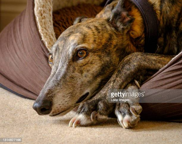 Greyhound lying in its bed.