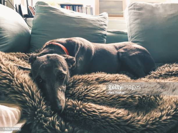 greyhound lying on fluffy rug - sadness stock pictures, royalty-free photos & images