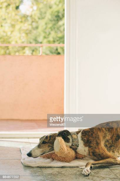 greyhound lying on towel in front of open balcony door - greyhound stock photos and pictures