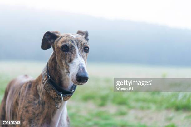 greyhound on a meadow - greyhound stock photos and pictures