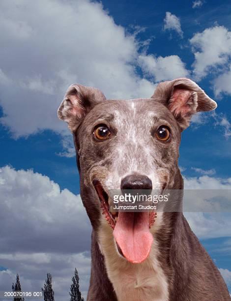 Greyhound panting, close-up