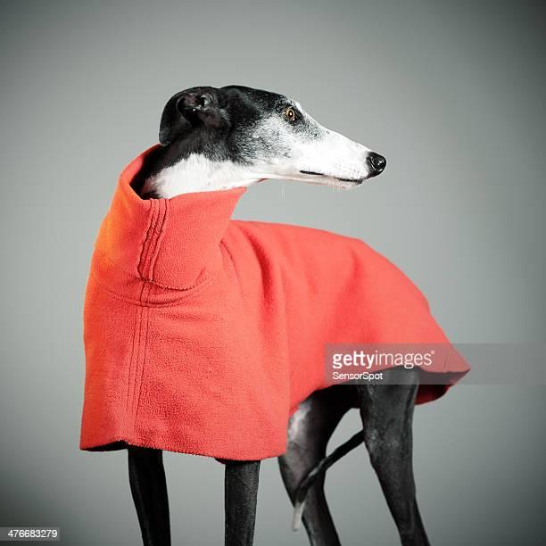 greyhound - greyhound stock photos and pictures