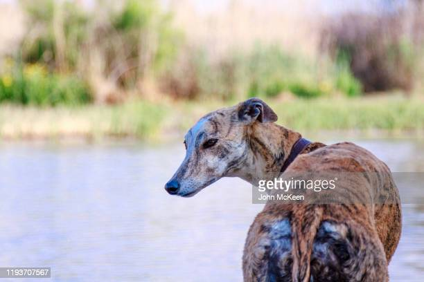 greyhound portrait - hairy bum stock pictures, royalty-free photos & images