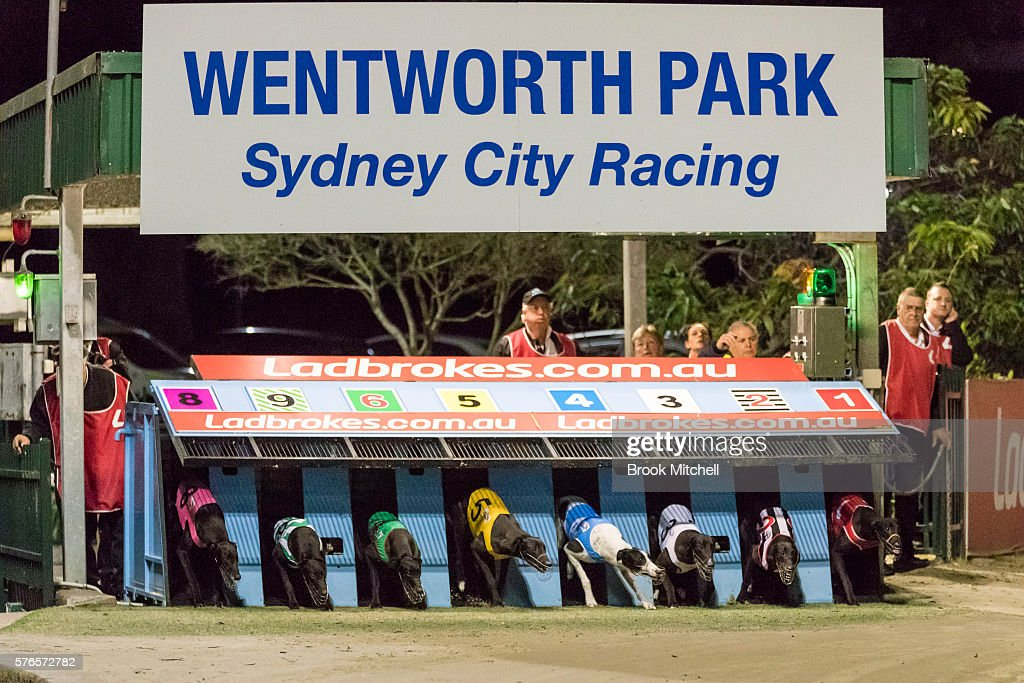 wentworth park greyhound racing resumes photos and images getty