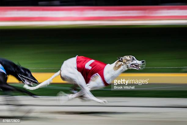 Greyhound racing resumes at Wentworth Park on July 16, 2016 in Sydney, Australia. NSW Premier Mike Baird announced the banning of greyhound racing in...