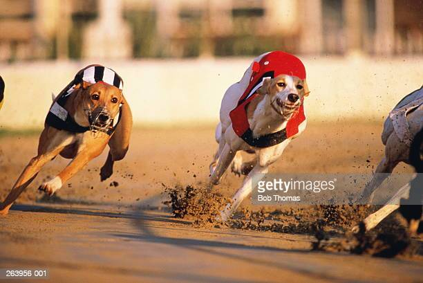 Greyhound racing,dogs in red and black/whites striped coats