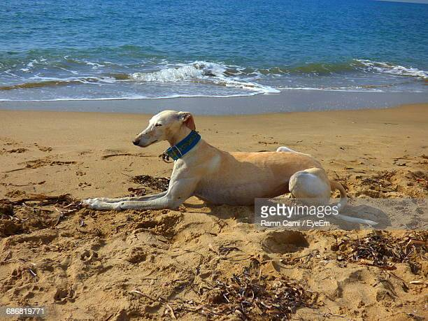 greyhound relaxing on sand at beach - levrette position photos et images de collection