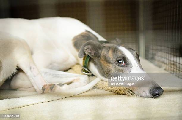 greyhound resting in crate - greyhound stock photos and pictures