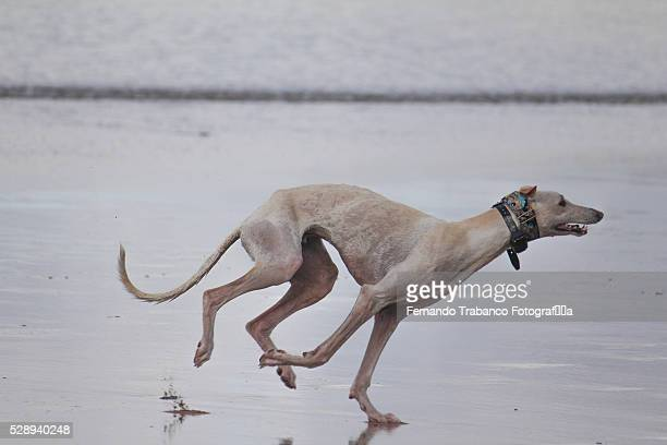 greyhound running on the beach - greyhound stock photos and pictures