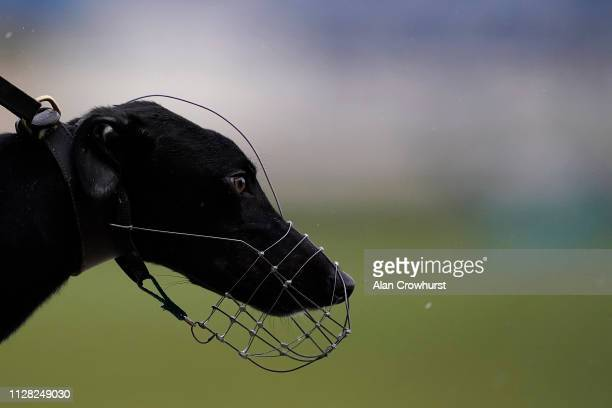 Greyhound stares down the length of the track at Coral Brighton and Hove Greyhound Stadium on February 08, 2019 in Brighton, England.