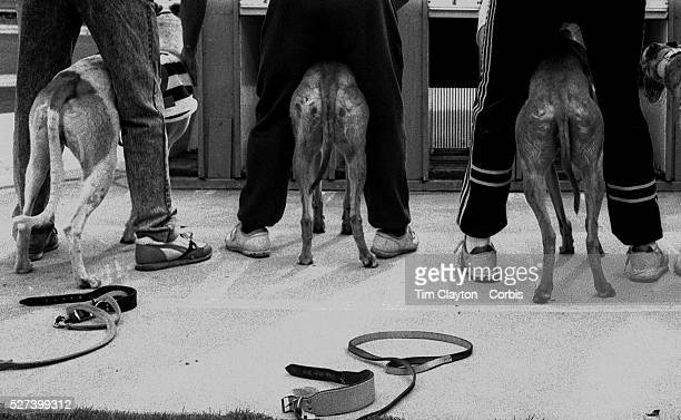Greyhound trainers prepare to place their dogs in the traps at Wentworth Park Greyhound track Sydney Australia Photo Tim Clayton