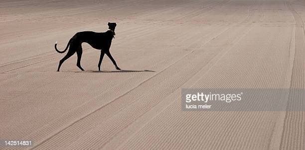 greyhound walking on combed sand - levrette position photos et images de collection