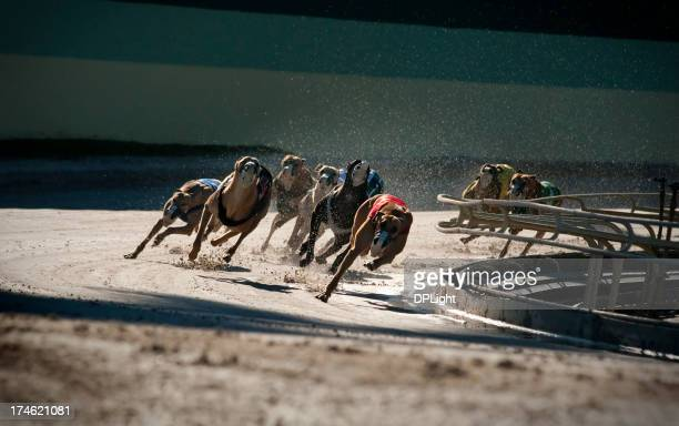 Greyhounds 5 of 7