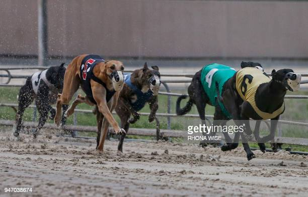 Greyhounds are seen on the track as they race at Club/52 Melbourne Greyhound Park in Melbourne Florida February 14 as live racing is run six days a...
