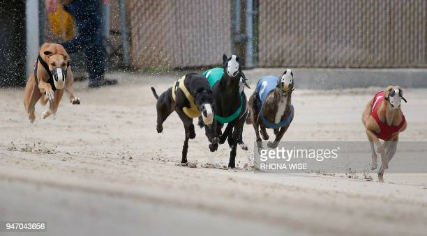 TOPSHOT Greyhounds are seen on the track as they race at Club/52 Melbourne Greyhound Park in Melbourne Florida February 14 2018 Six lean greyhounds...