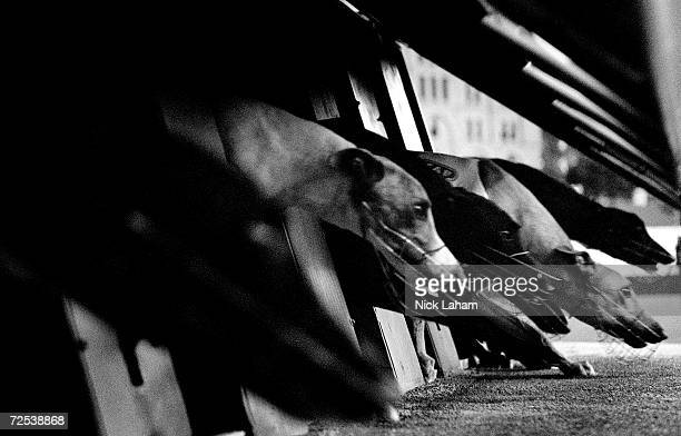 Greyhounds break from the starting boxes at Wentworth Park greyhound track December 15 2003 in Sydney Australia Over 8000 participants are the...