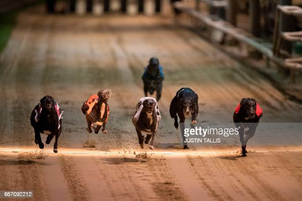 TOPSHOT Greyhounds compete on the track during an evening of greyhound racing at Wimbledon Stadium in south London on March 18 2017 March 25 will see...