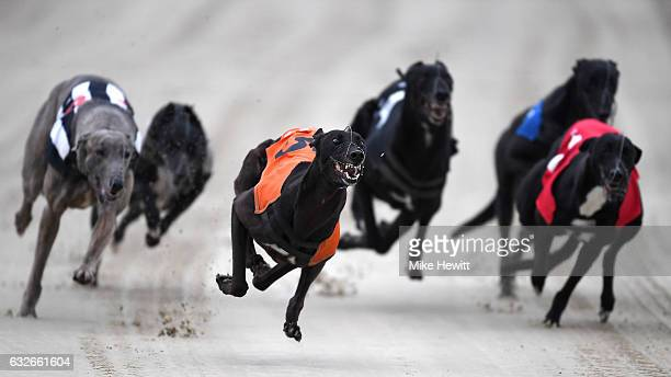 Greyhounds in action during the first race at the Coral Brighton & Hove Greyhound Stadium on January 25, 2017 in Brighton, England.