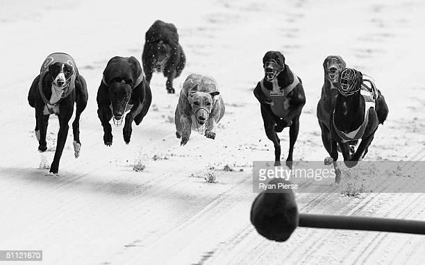 Greyhounds in action during the Sandown Greyhound midweek meet at Sandown Park July 28 2004 in Melbourne Australia
